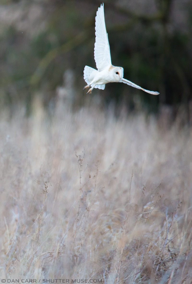 Barn Owl in Norfolk england