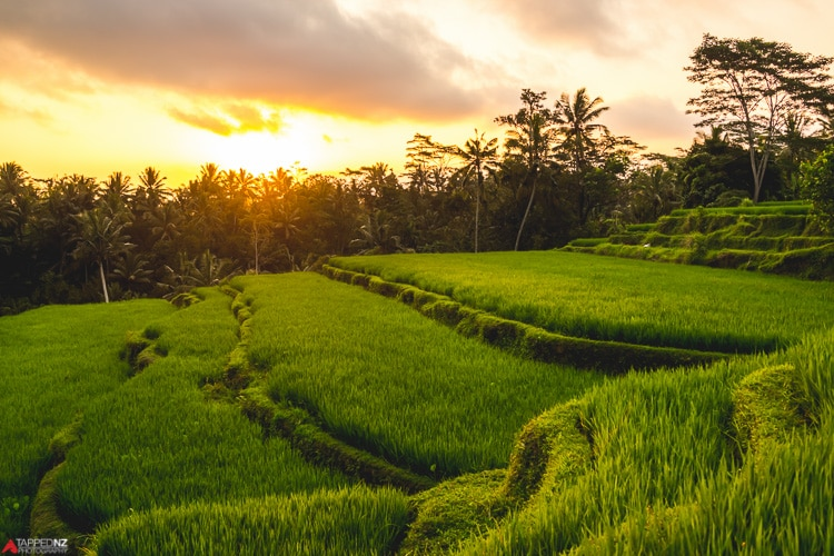 Bali ricefields as the sun sets, Indonesia. Shot on Sony RX1R