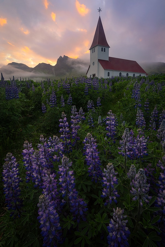 Lupine fields below the iconic church in Vik, Iceland. A7r + FE 16-35 f/4, single image.