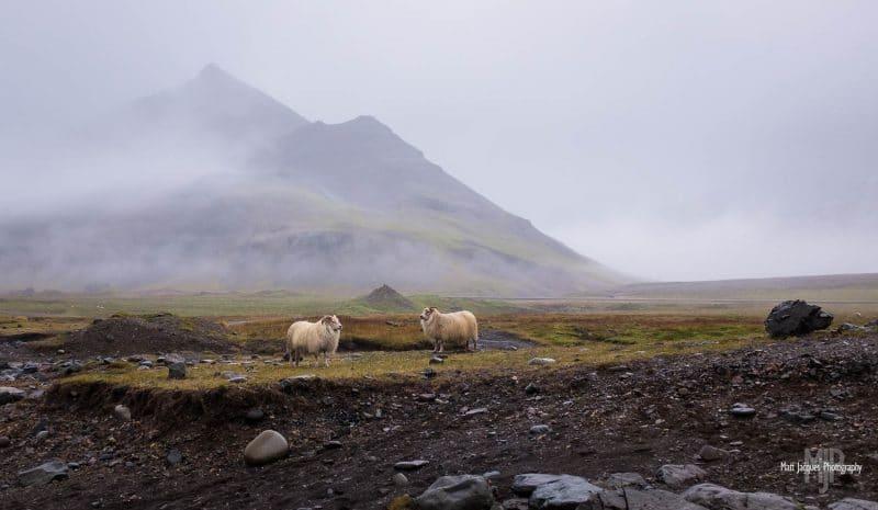 Icelandic sheep near Djúpivogur