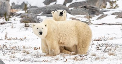 Rendezvous with the Ice Bear – Photographing Polar Bears in Churchill, Canada
